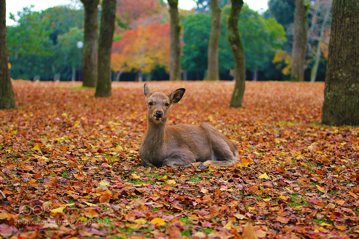 Photograph Deer in Nara by Edith Yee on 500px