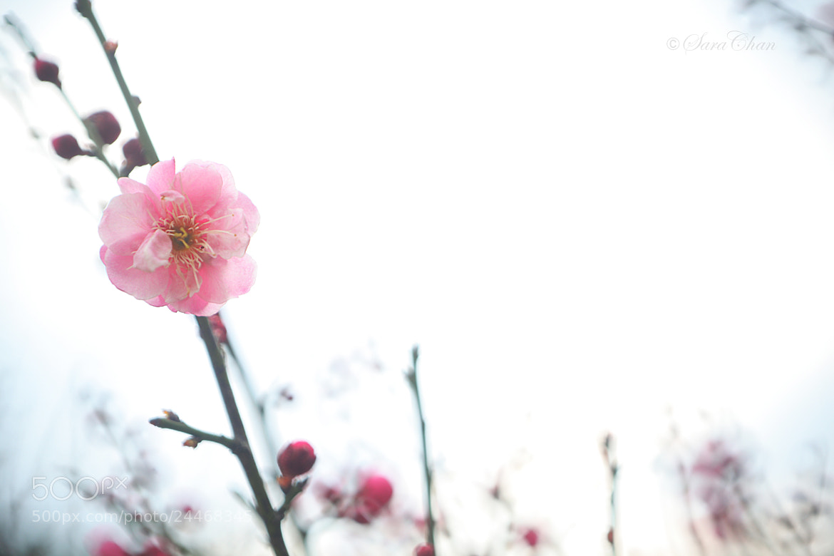 Photograph Plum Blossom 7 by Sara Chan on 500px