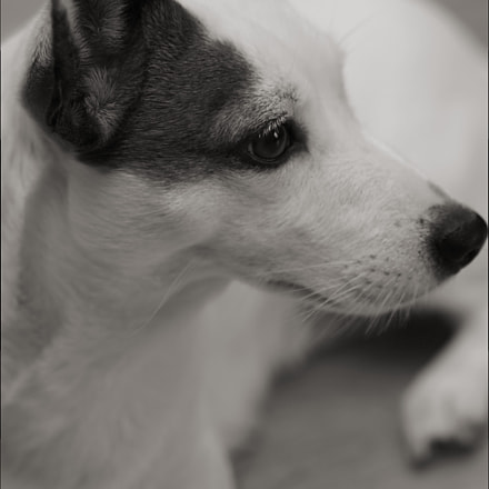 Small Dog in Grey, Canon EOS 500D