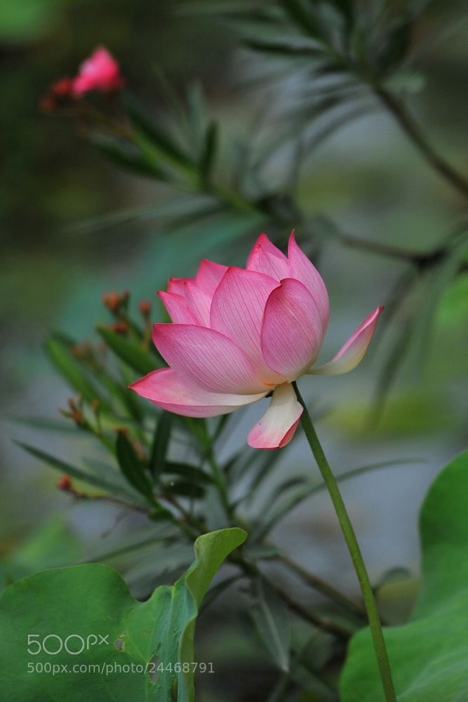 Photograph lotus by weijie cai on 500px