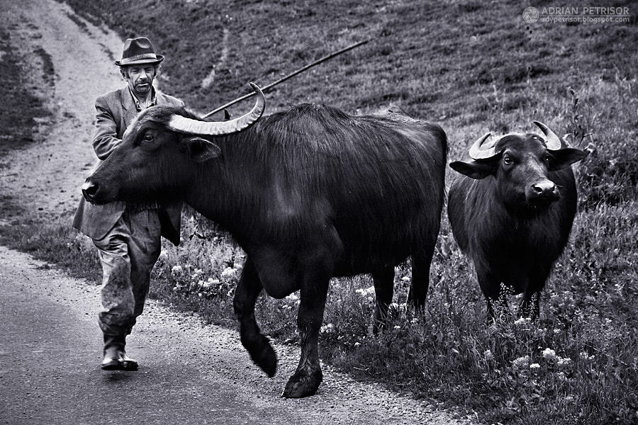 Photograph Man with buffaloes by Adrian Petrisor on 500px
