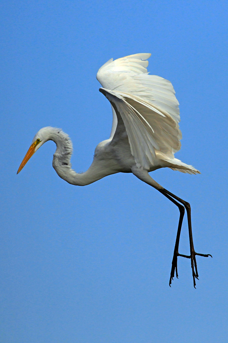 Photograph Great egret by Cristobal Garciaferro Rubio on 500px