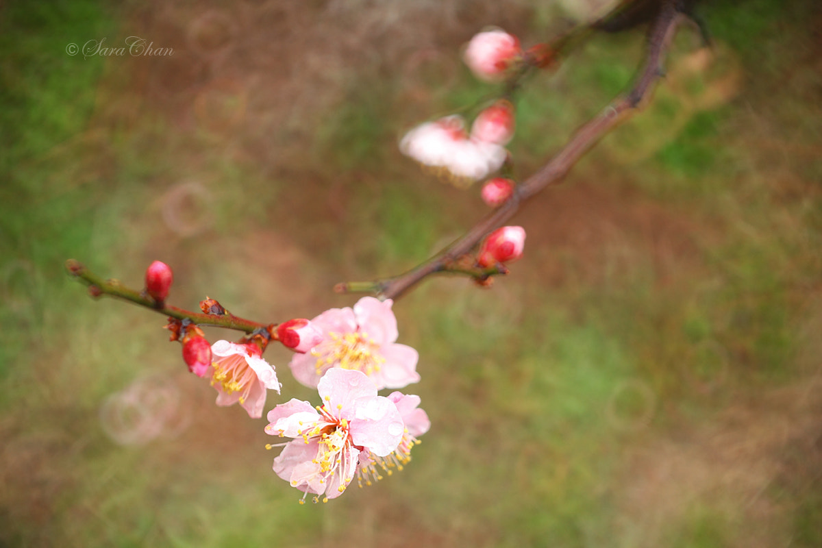 Photograph Plum Blossom 10 by Sara Chan on 500px