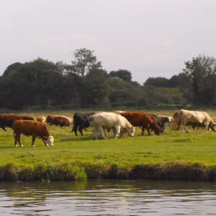 Cows in meadow, Nikon COOLPIX S3400