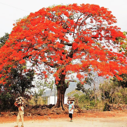 People & Flamboyant tree