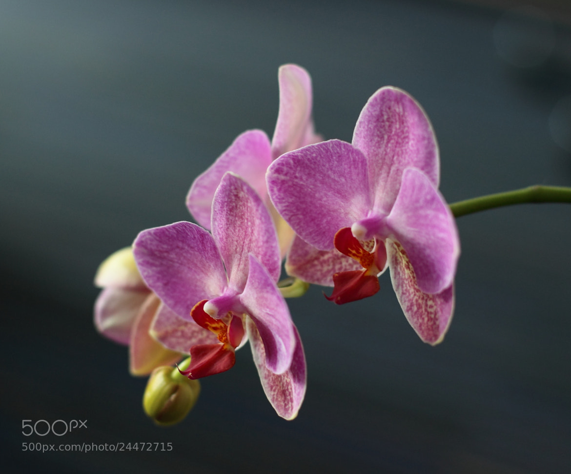Photograph Orchidea by György Soponyai on 500px