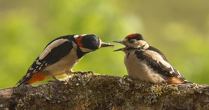 Photograph Woodpeckers feeding by Geoffrey Baker on 500px