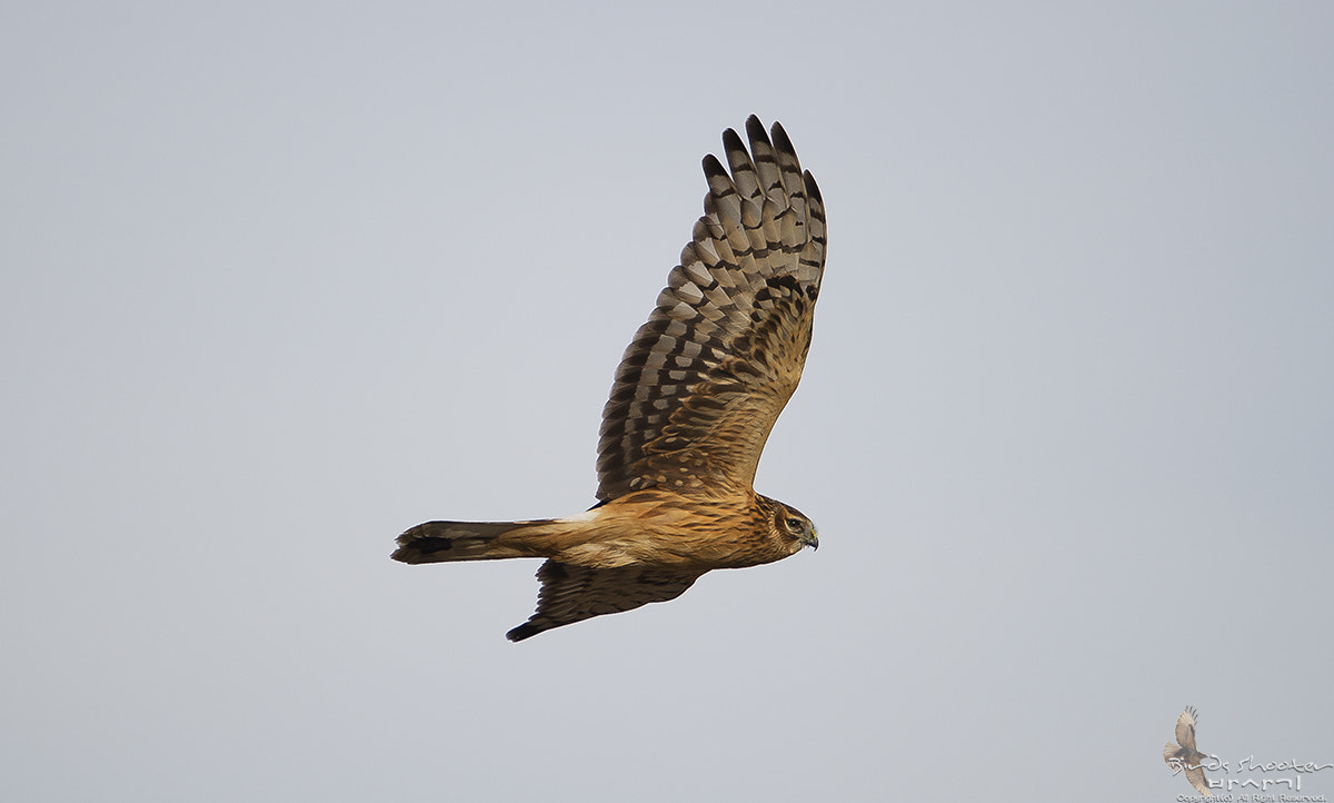 Photograph hen harrier by basaki 바사기 on 500px