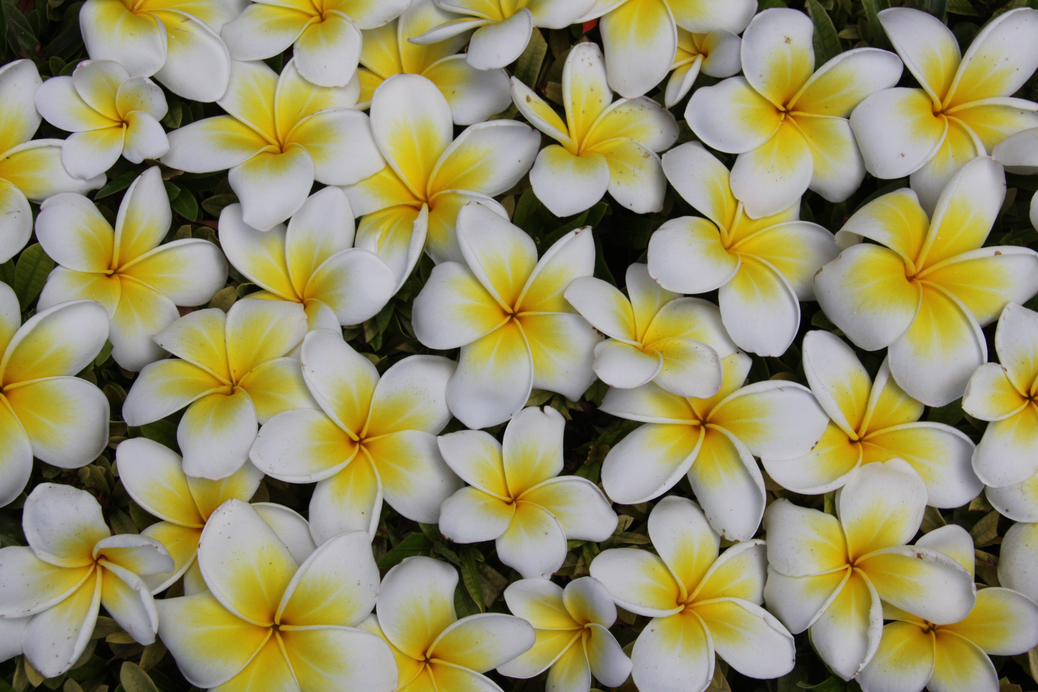 Photograph Frangipani by laudica on 500px