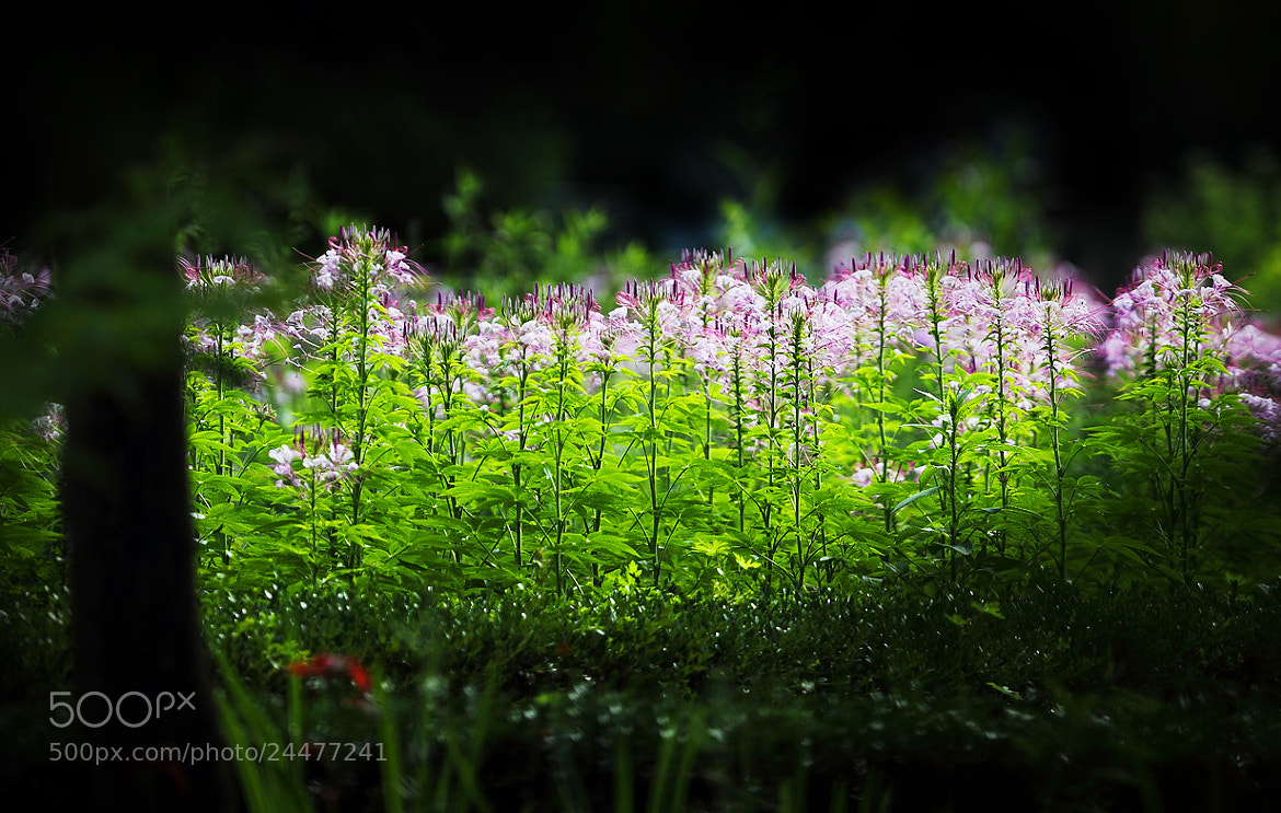 Photograph Cleome spinosa  by LEE INHWAN on 500px