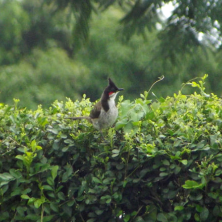 A Red Whiskered Bulbul, Fujifilm FinePix S2950