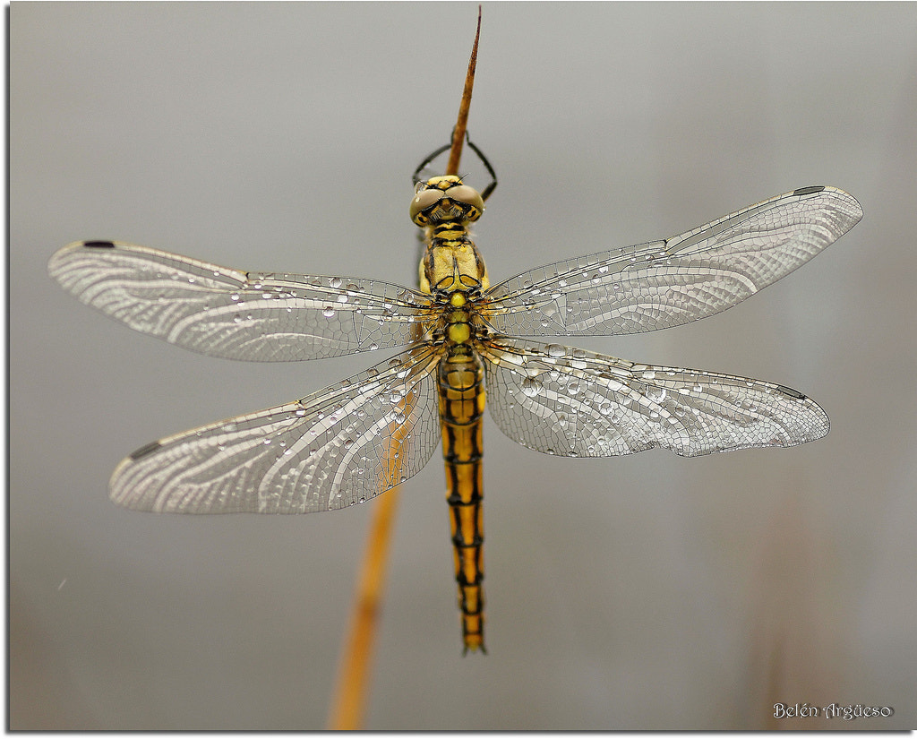 Photograph Golden dragonfly... by Belén Argüeso Castelos on 500px