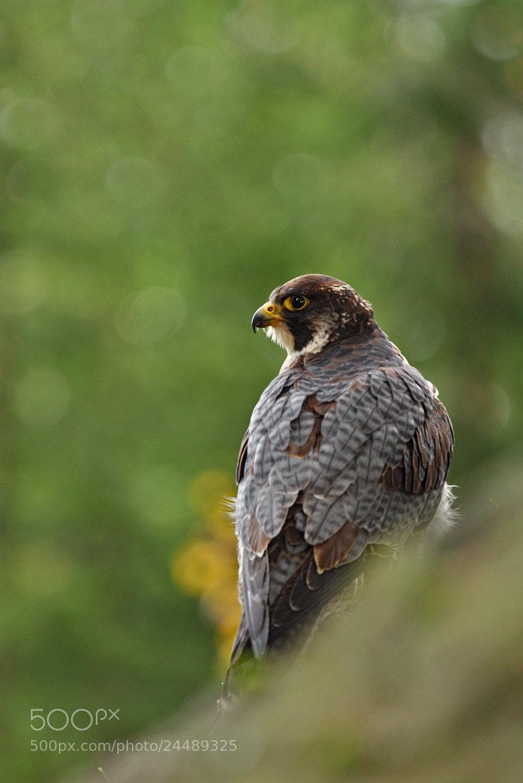 Photograph Falco peregrinus by Martin Muzik on 500px