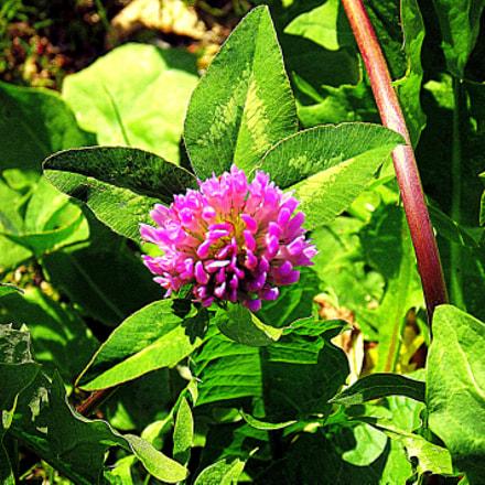 Fiore di trifoglio, uno, Fujifilm FinePix S2950