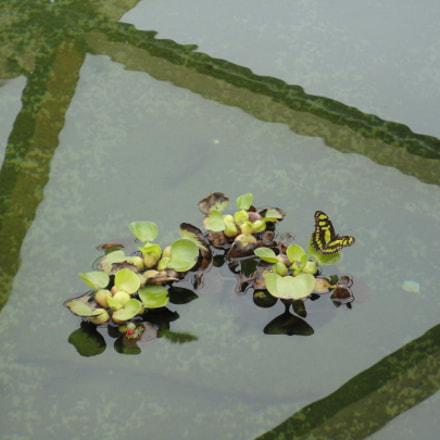 Butterfly on waterplants, Sony DSC-W380