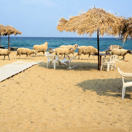 sheep on the beach, Nikon COOLPIX L19