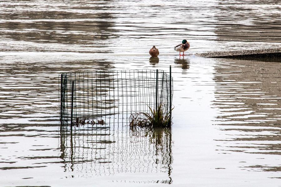 Les canards (ducks) de Christine Druesne sur 500px.com