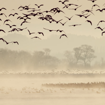 Wild geese flied off, Canon EOS-1D X, Canon EF 600mm f/4L IS