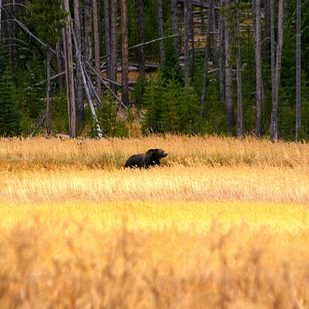 Grizzly Bear, Yellowstone NP, Samsung GX-1L