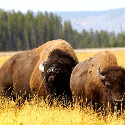 Bisons, Yellowstone NP, USA, Samsung GX-1L