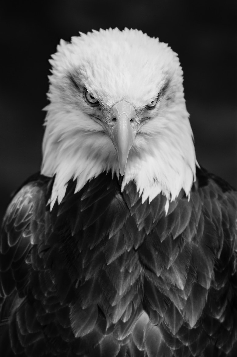 Photograph Bald Eagle by Frank Hofmann on 500px