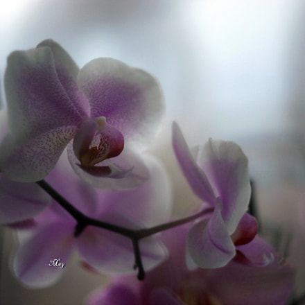 orchids, Sony SLT-A65