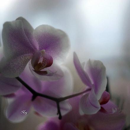 orchids, Sony SLT-A65, Minolta AF 50mm F1.7