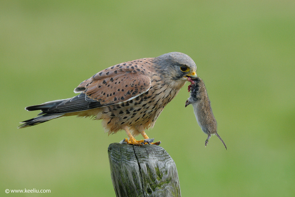 Photograph Common kestrel and prey by Kee Liu on 500px