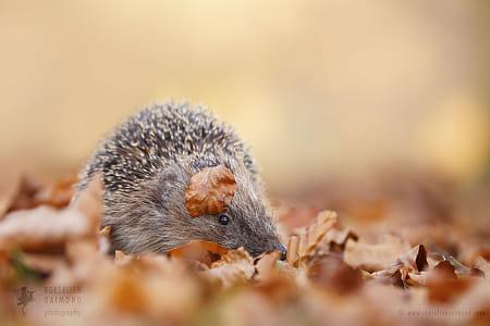 Hiding Hedgehog