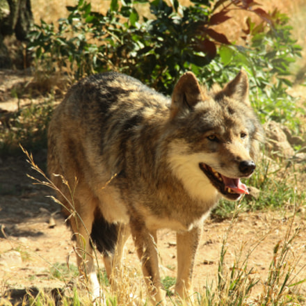 Loup, Canon EOS 1100D, Canon EF-S 18-135mm f/3.5-5.6 IS