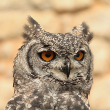 Hibou, Canon EOS 1100D, Canon EF-S 18-135mm f/3.5-5.6 IS