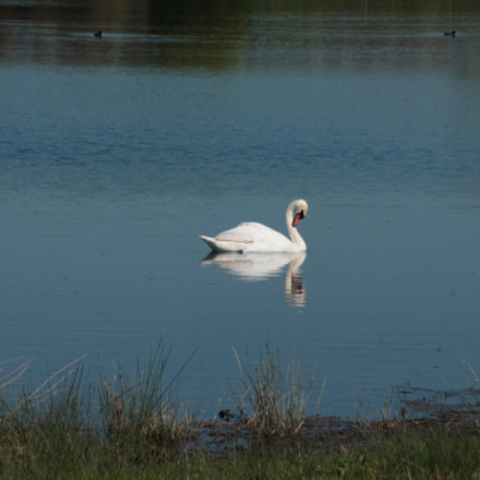 Cygne, Canon EOS 1100D, Canon EF-S 18-135mm f/3.5-5.6 IS
