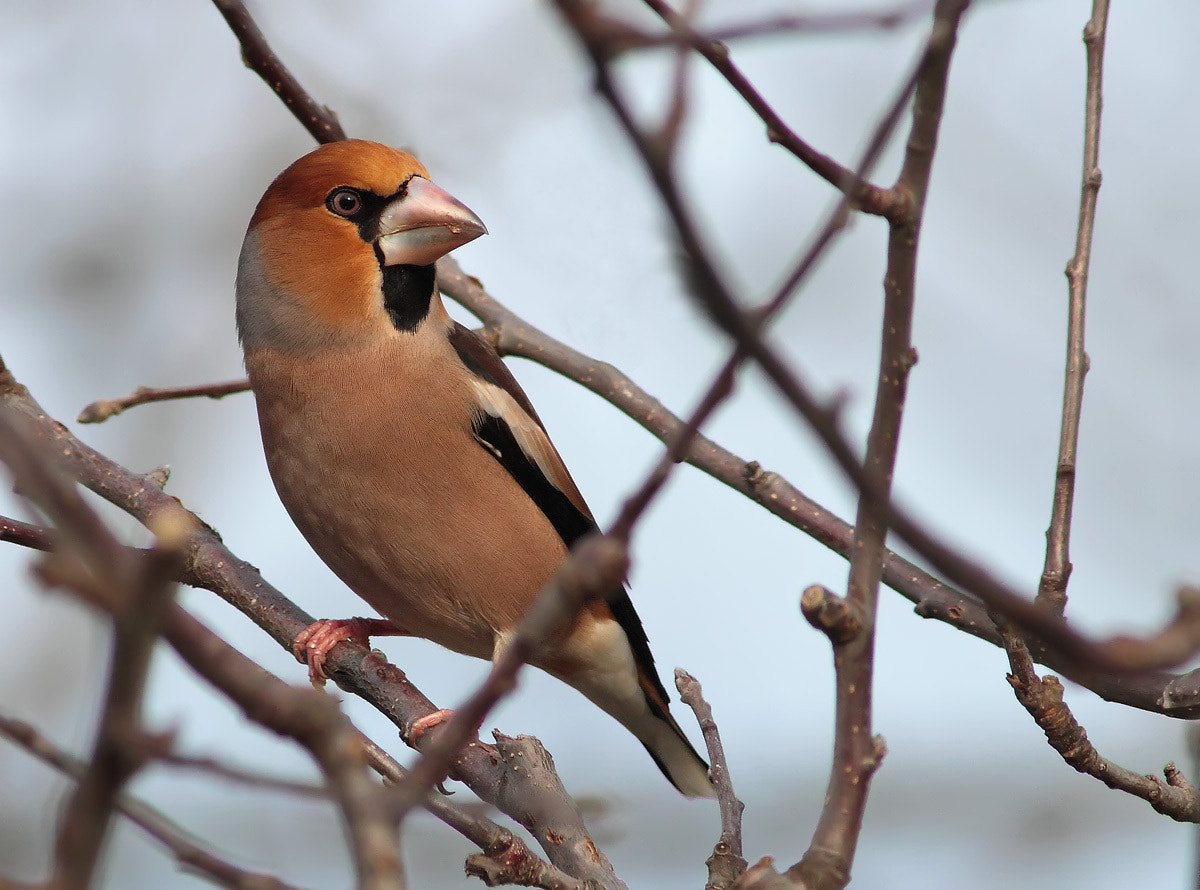 Photograph Hawfinch by Ivan Martini on 500px