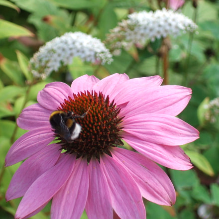 A bumble bee, Fujifilm FinePix F11