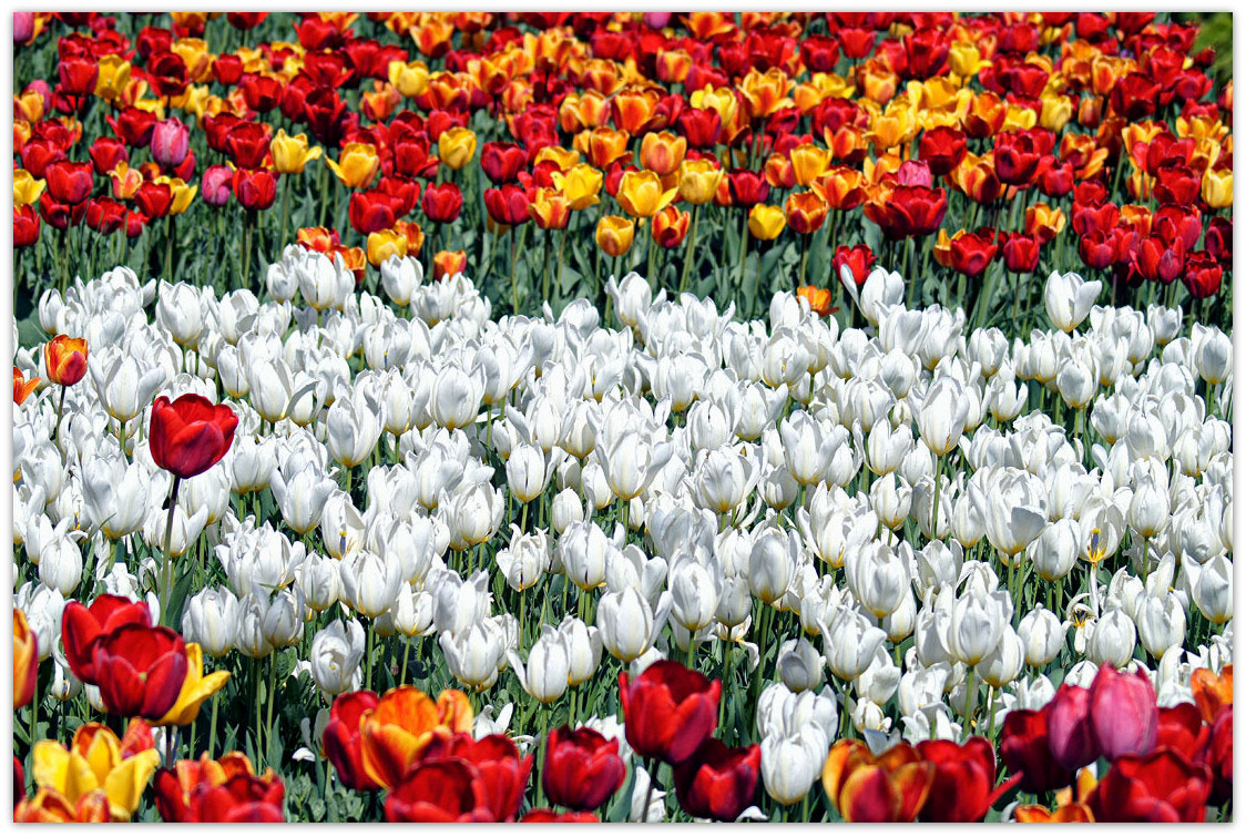 Photograph ~Tulips~ by seranza on 500px