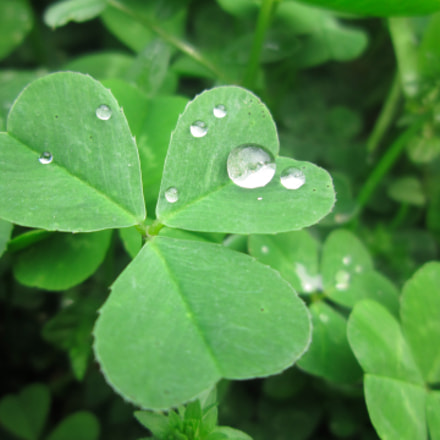 Rain drops on clover, Canon POWERSHOT A3200 IS