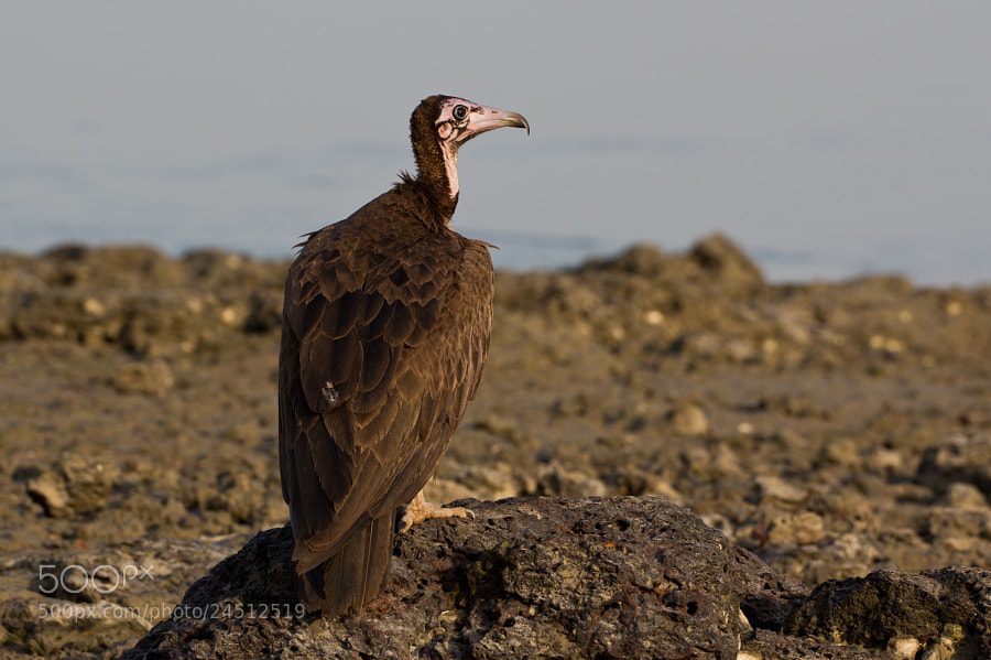Hooded vulture on a rock near the sea - Guinea Bissau  Like other vultures the Hooded Vulture is a scavenger, feeding mostly from carcasses of dead animals and waste which it finds by soaring over savannah and around human habitation, including waste tips and abattoirs. It often moves in flocks, and is very abundant. In much of its range, there are always several visible soaring in the sky at almost any time during the day. This Hooded Vulture is typically unafraid of humans.