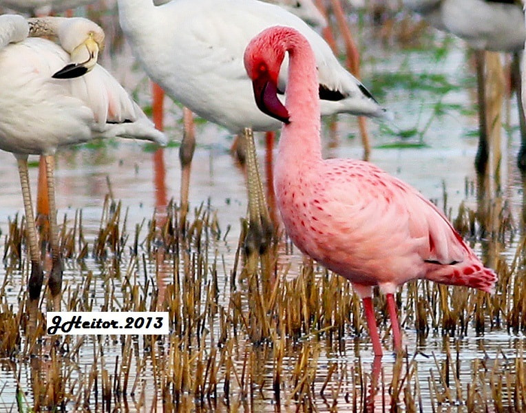 Photograph Flamingo-pequeno  ... Phoenicopterus minor by Jose Heitor on 500px