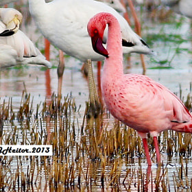 Flamingo-pequeno  ... Phoenicopterus minor by Jose Heitor (jheitor)) on 500px.com