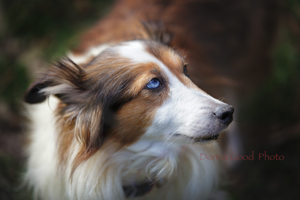 Photograph Sheltie... by Donna Good on 500px