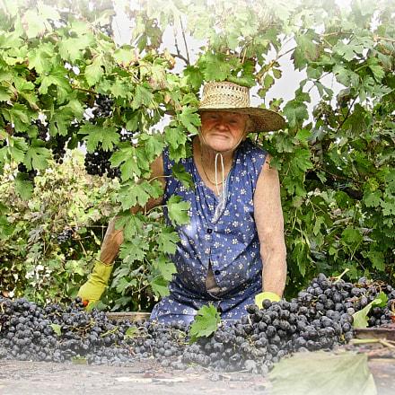 grape harvest, Nikon SQ
