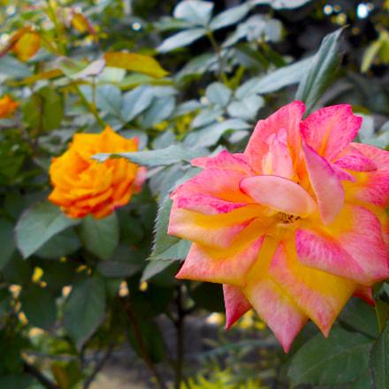 ROSE, Nikon COOLPIX S2900