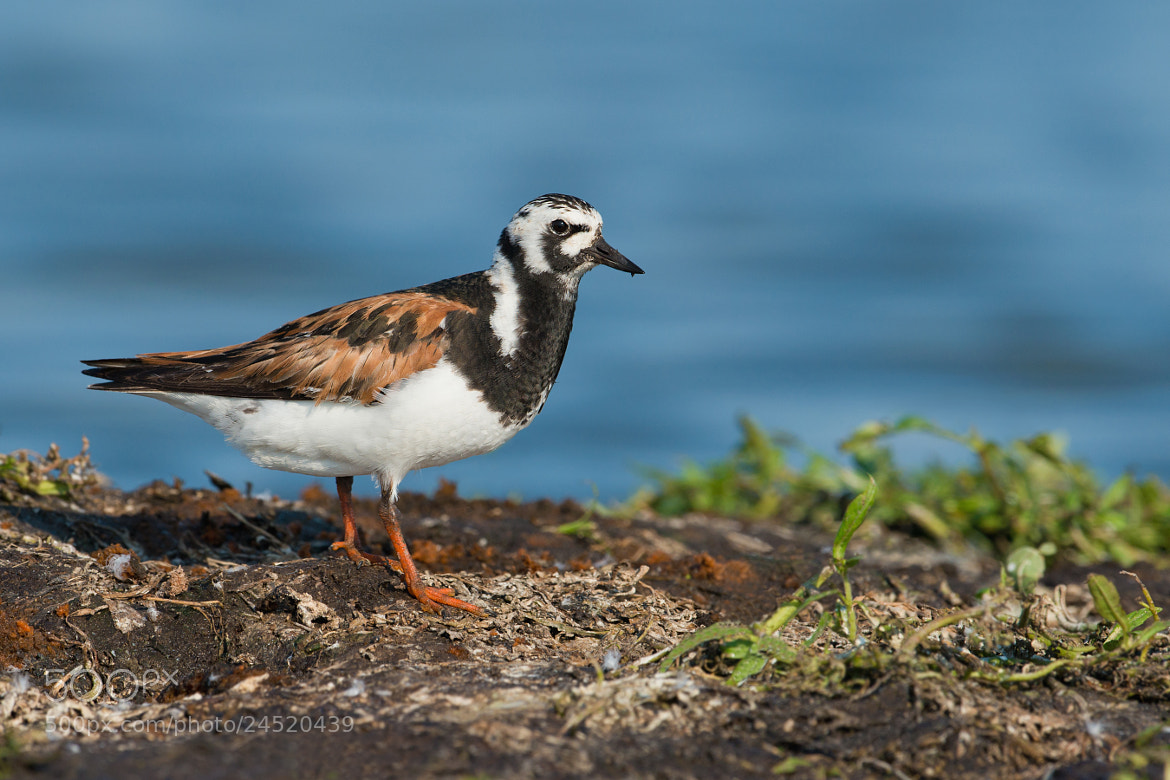 Photograph Ruddy Turnstone by Jerry Peltier on 500px