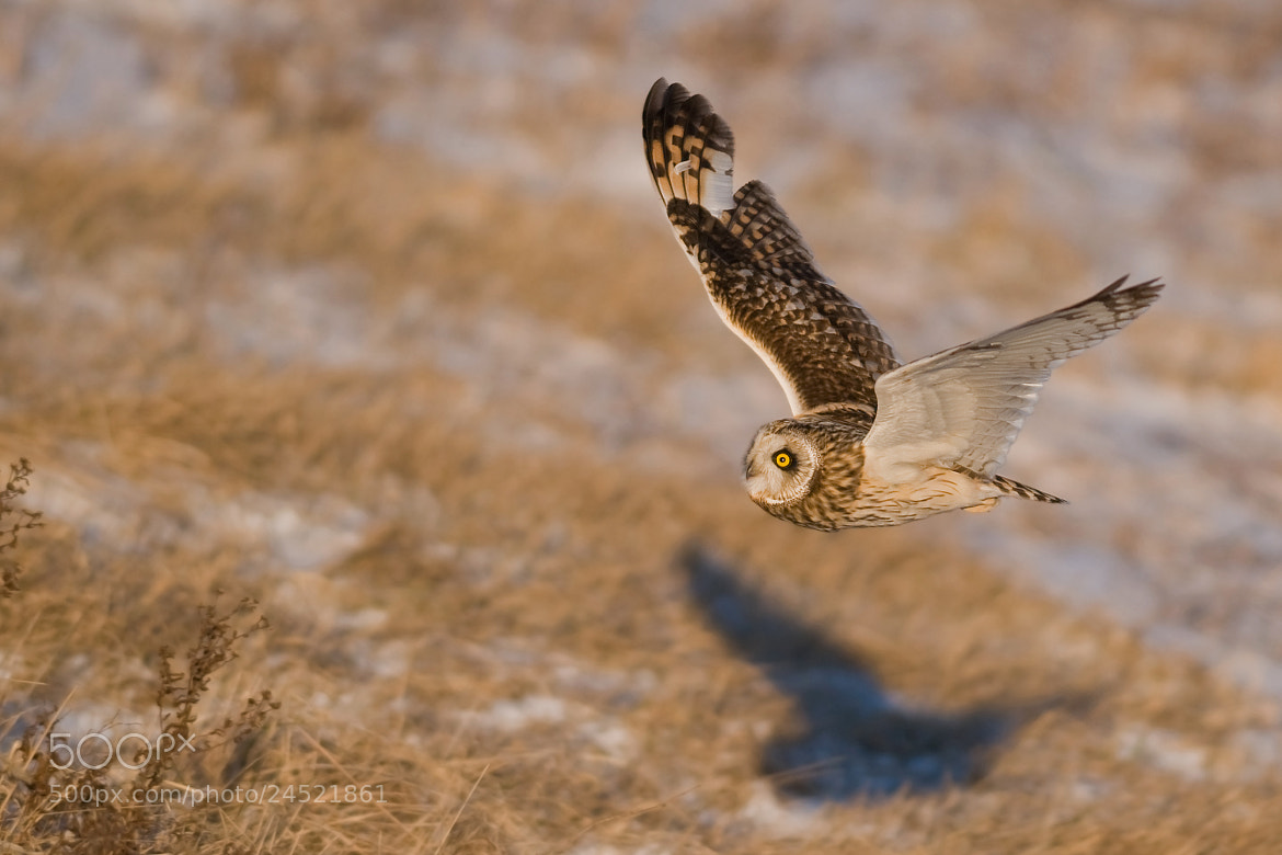 Photograph Short - eared Owl by Jerry Peltier on 500px