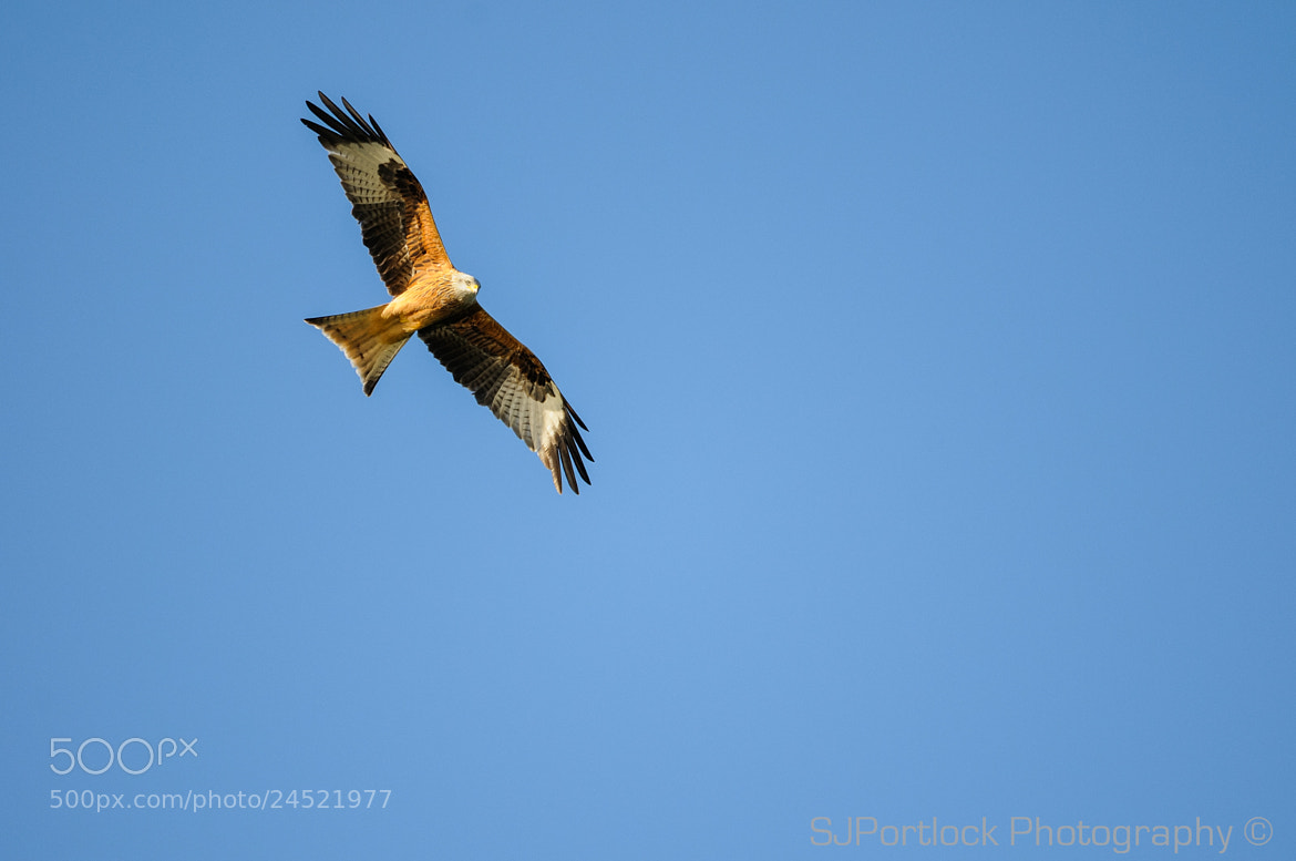 Photograph Kite of Donana by Stephen Portlock on 500px
