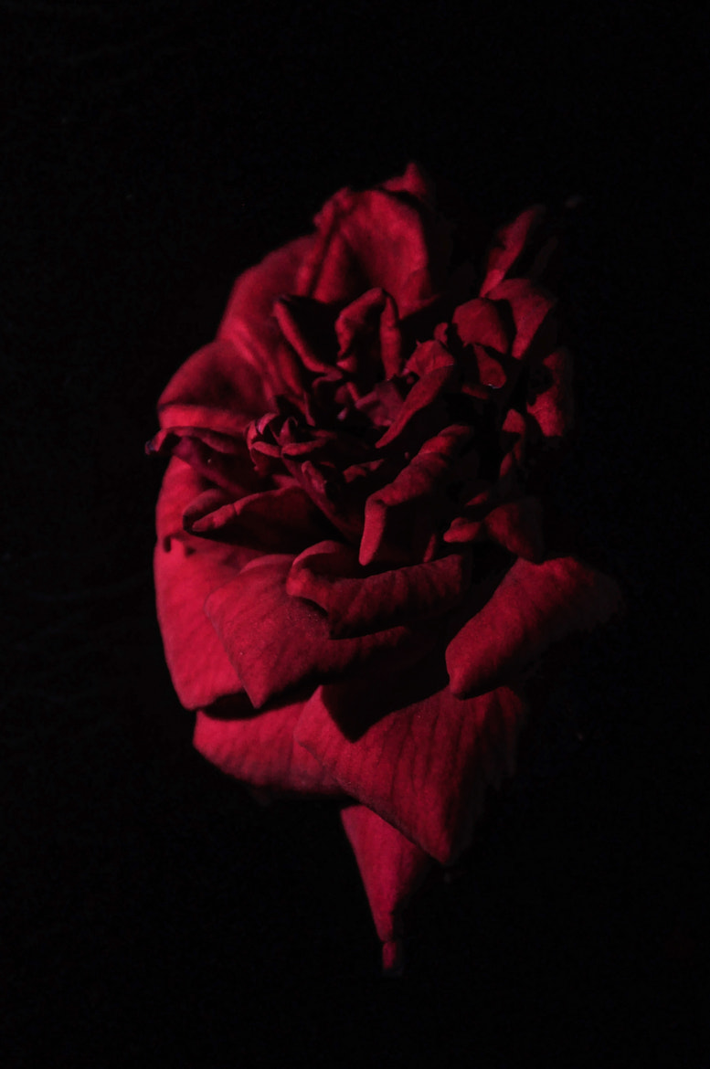 Photograph Rose by Naveen Rai on 500px