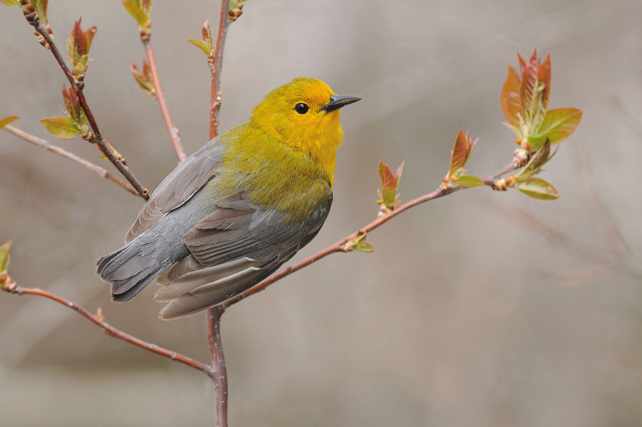Photograph Prothonotary Warbler by Jerry Peltier on 500px