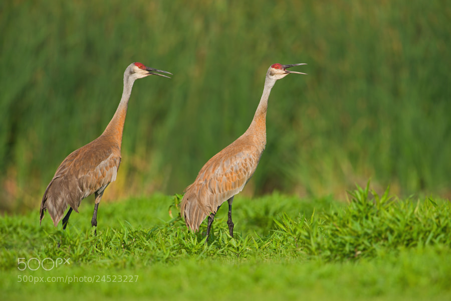 Photograph Sandhill Cranes by Jerry Peltier on 500px