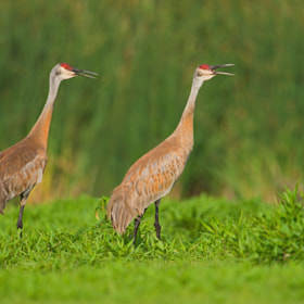 Sandhill Cranes by Jerry Peltier (jpeltier2)) on 500px.com