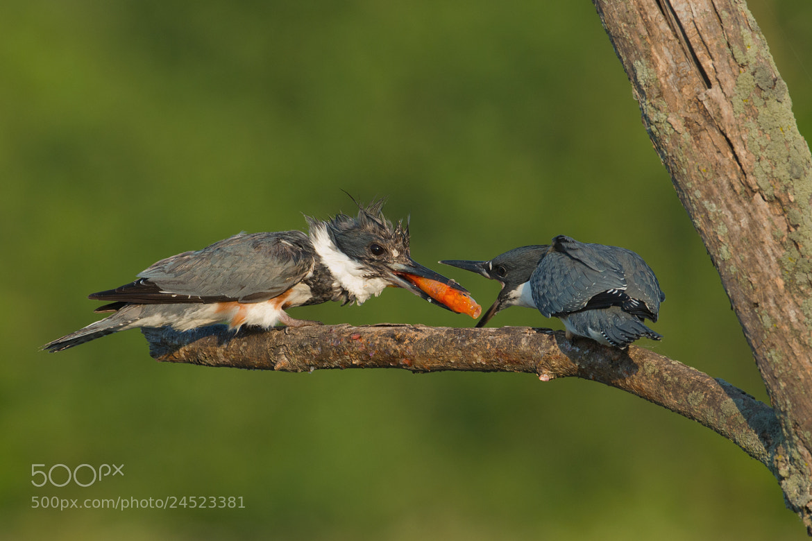 Photograph Belted Kingfishers by Jerry Peltier on 500px